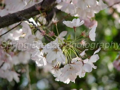 Cherry Blossom  April 2008, Washington DC