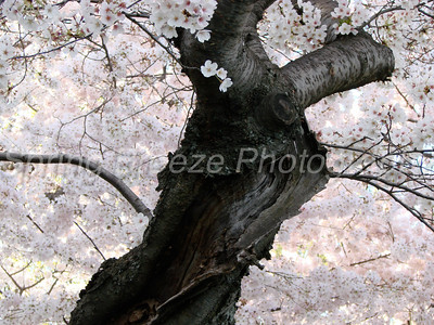 Cherry Blossom  Washington DC, April 2008