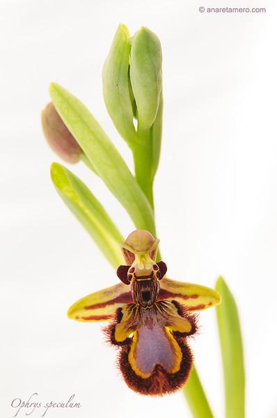 <em>Ophrys speculum</span>
