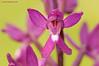<em>Anacamptis laxiflora</span></em>