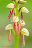 <em>Orchis anthropophora</span> (hombrecillos ahorcados)