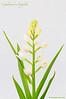 <em>Cephalanthera longifolia</span>