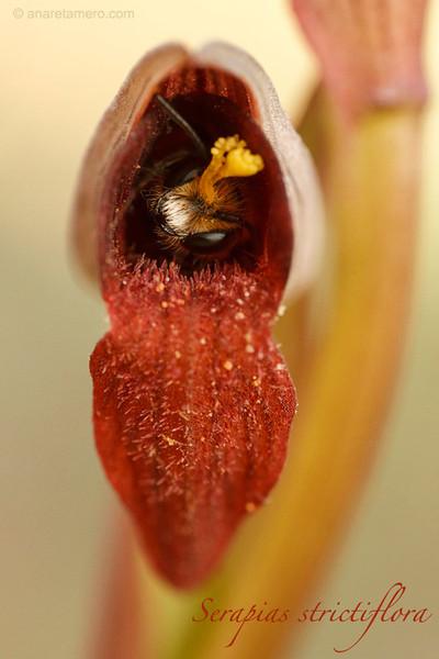 <em>Serapias strictiflora</span>