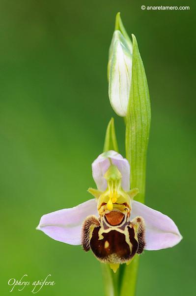 <em>Ophrys apifera</span></em>