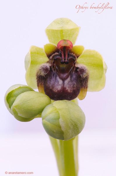 <em>Ophrys bombyliflora</span></em>