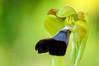 <em>Ophrys atlantica</span>