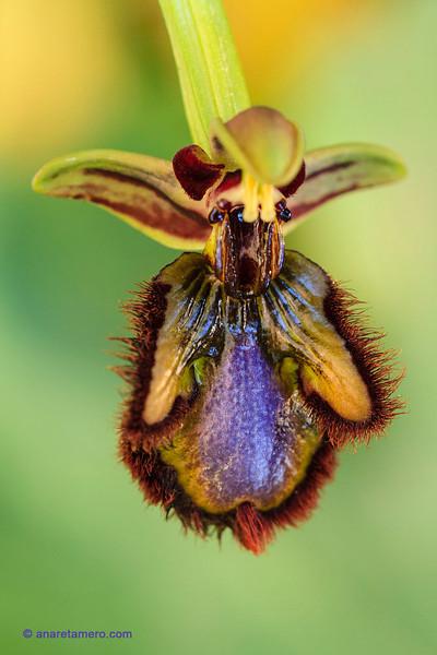 <em>Ophrys speculum</span></em>