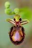 <em>Ophrys speculum</span></em> (Orquídea de espejo)