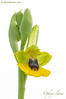 <em>Ophrys lutea</span>