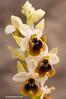 <em>Ophrys tenthredinifera</span></em>