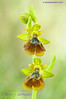 Ophrys x chobautii =Ophrys speculum x Ophrys lutea.