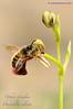 Ophrys speculum y Dasyscolia ciliata