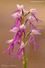 Orchis italica x Acera anthropophorum = Orchis x bivonae