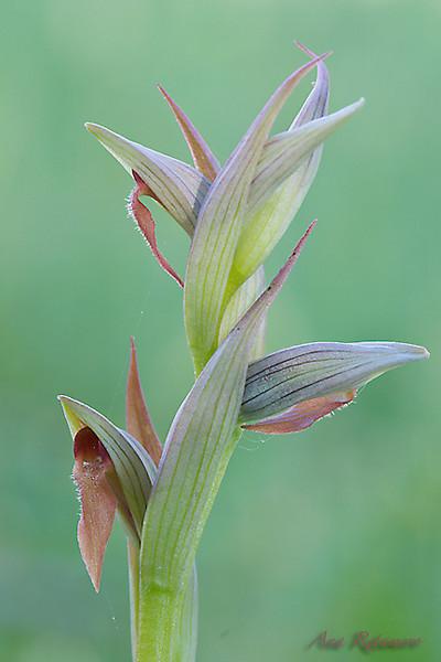 <em>Serapias parviflora</span></em>