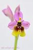 <em>Ophrys tenthredinifera Subsp. ficalhoana</span></em>