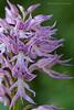 <em>Orchis italica</span></em>