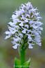 <em>Orchis conica</span></em>