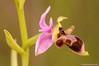 <em>Ophrys scolopax</span></em>