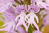 <em>Orchis italica</span></em> (Orquídea del hombre desnudo)