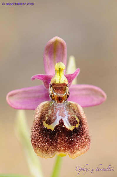 Ophrys x heraultii (Ophrys tenthredinifera x speculum)