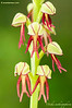 Orchis anthropophora (man orchid)
