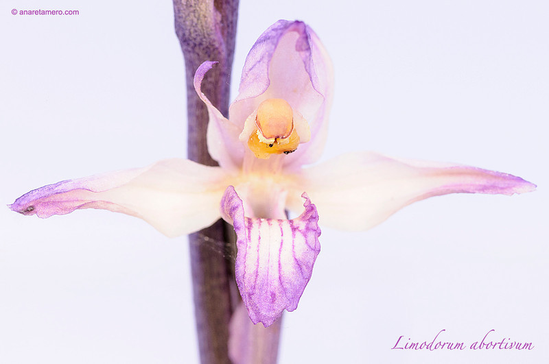 <em>Limodorum abortivum </span>