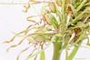 <em>Himantoglossum hircinum</span></em>