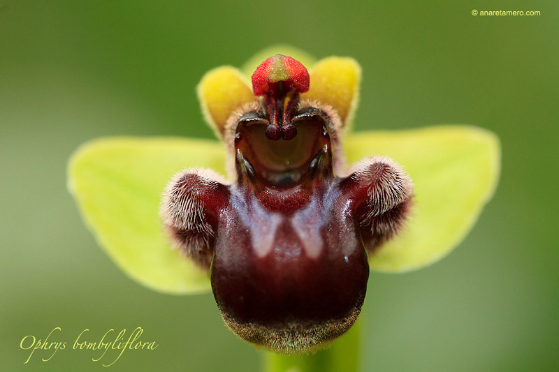 Bumblebee Orchid Ophrys bombyliflora
