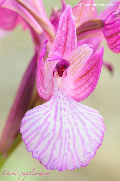 <em>Orchis papilionacea</span>