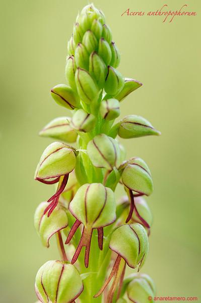 <em>Orchis anthropophorum</span>