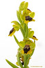 <em>Ophrys lutea subsp minor</span></em>