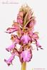 <em>Himantoglossum robertianum</span>