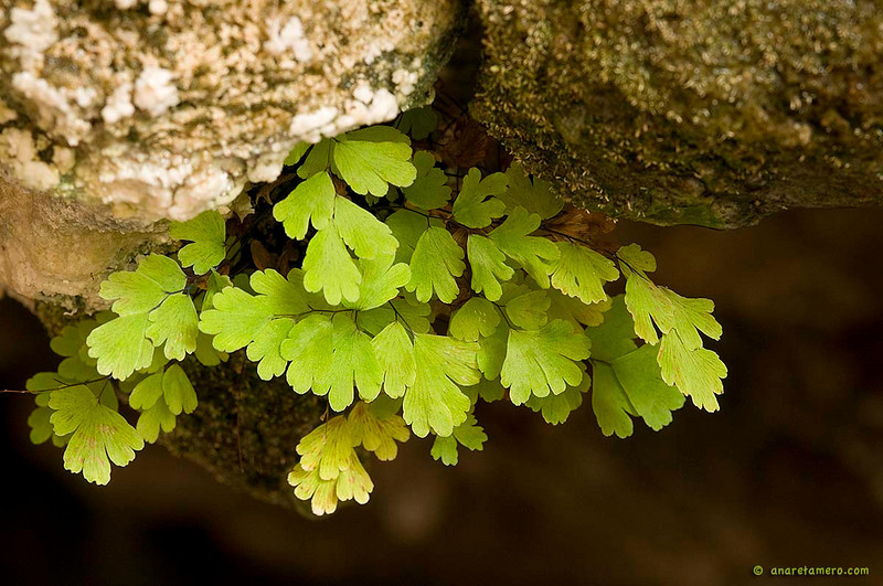 Culantrillo en el techo de la Cueva de Linarejo <em>(Adiantum capillus-veneris)</span></em>