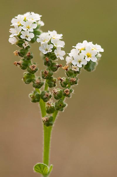 Verrucaria (<em>Heliotropium europaeum</span></em>)