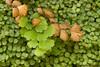 Culantrillo (Adiantum capillus-veneris)