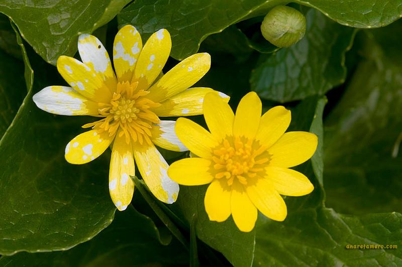 <em>Ranunculus ficaria</span></em>