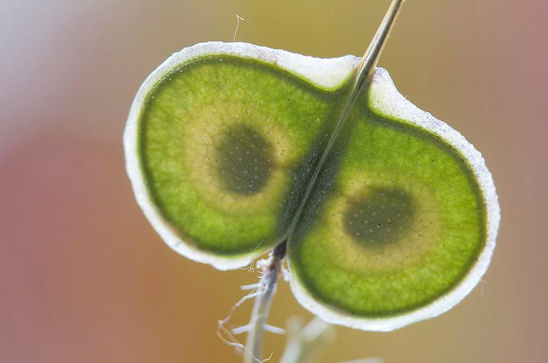 Anteojos de Santa Lucía (Biscutella auriculata)