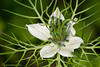 <em>Nigella damascena</span></em>