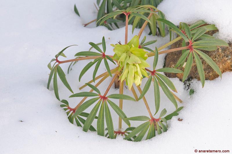 Heléboro fétido <em>(Helleborus foetidus)</span></em>