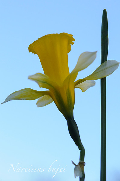 Narciso trompetero (<em>Narcissus bujei</span></em>)