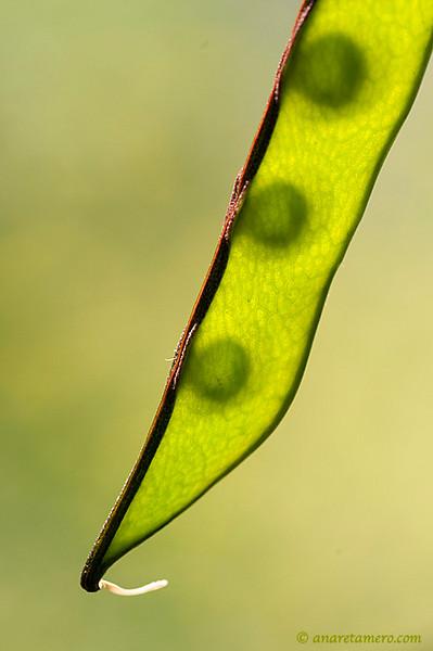 Lathyrus seeds