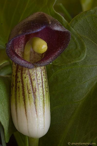 Arisarum vulgare