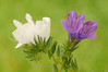 Violeta y albina (<em>Echium plantagineum</span></em>)