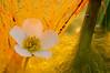 <em>Ranunculus peltatus</span></em>