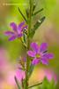 Lythrum junceum