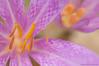 <em>Colchicum lusitanum</em>