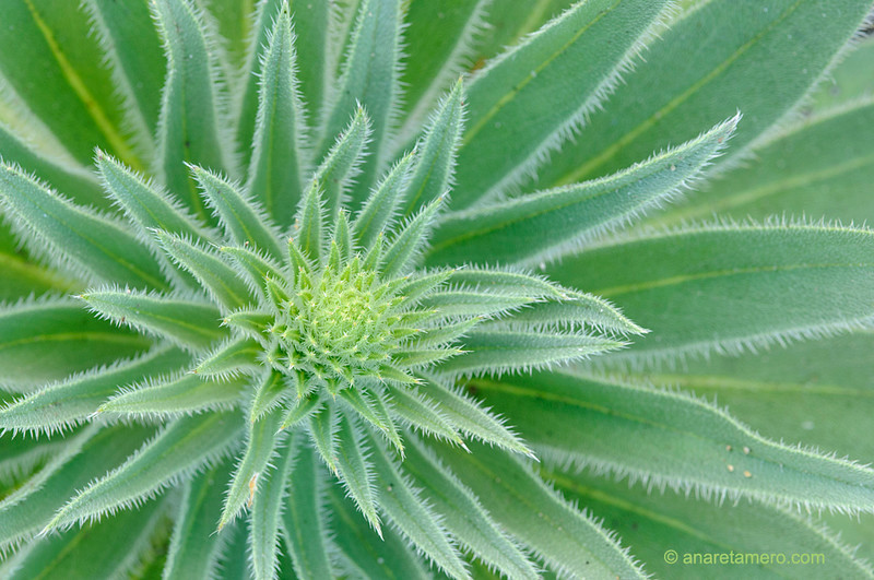 <em>Echium boissieri </span></em>