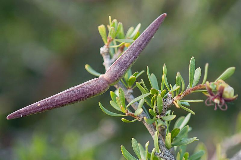 Periploca angustifolia (fruto)