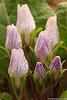 Mandragora (Mandragora autumnalis)