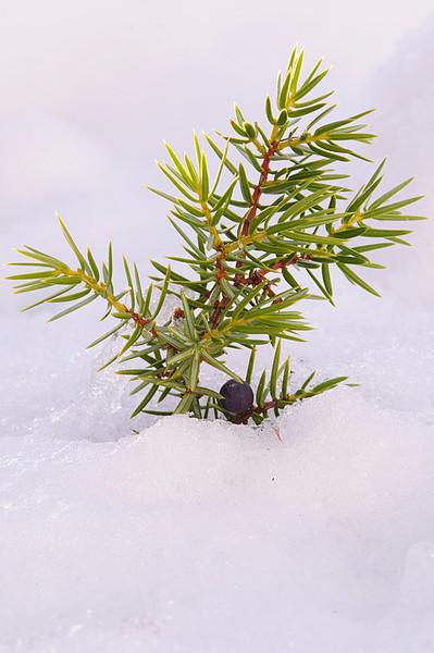 Enebro en la nieve